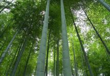moso-bamboo